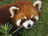 Lesser or Red Panda (Ailurus Fulgens), Chengdu Panda Research Institute, China Photographic Print by Mark Moffett
