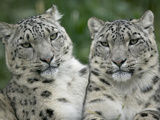 Snow Leopard (Uncia Uncia) Pair Sitting Together, Endangered, Native to Asia and Russia Fotografiskt tryck av Cyril Ruoso