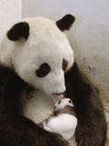 Giant Panda (Ailuropoda Melanoleuca) with Cub, Wolong Nature Reserve, China Photographic Print by Katherine Feng