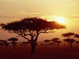 Umbrella Acacia (Acacia Tortills), Trees at Sunrise on Savannah, Masai Mara, Kenya Fotografie-Druck von Gerry Ellis