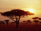 Umbrella Acacia (Acacia Tortills), Trees at Sunrise on Savannah, Masai Mara, Kenya Photographic Print by Gerry Ellis