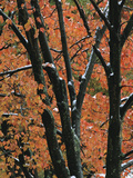 Fall Foliage of Maple Trees after an October Snowstorm Photographic Print by Tim Laman
