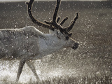 Reindeer (Rangifer Tarandus) of Male, Splashing in Water, Taymyr, Siberia Photographic Print by Konrad Wothe