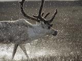 Reindeer (Rangifer Tarandus) of Male, Splashing in Water, Taymyr, Siberia Photographic Print by Konrad Wothe