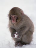 Japanese Macaque or Snow Monkey (Macaca Fuscata) Baby Playing with Snowball, Japan Photographic Print by Konrad Wothe