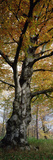 Tree in the Black Forest, Germany Photographic Print by Konrad Wothe