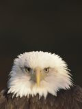 Bald Eagle (Haliaeetus Leucocephalus), North America Photographic Print by Gerry Ellis