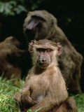 Young Olive Baboon or Anubis Baboon (Papio Anubis) Photographic Print by Gerry Ellis