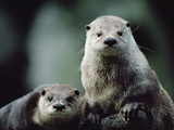 River Otter (Lutra Canadensis) Pair, North America Photographic Print by Gerry Ellis