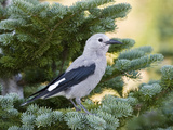 Clark's Nutcracker (Nucifraga Columbiana) in Pine, Mount Rainier National Park, Washington Photographic Print by Konrad Wothe