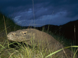 Komodo Dragon (Varanus Komodoensis) at Dusk Photographic Print by Cyril Ruoso