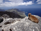 Rock Hyrax (Procavia Capensis) Resting on Rock, Table Mountain, Cape Town, South Africa Photographic Print by Gerry Ellis