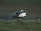 Snowy Owl (Nyctea Scandiaca) in Flight over Tundra, Taymyr, Siberia Photographic Print by Konrad Wothe