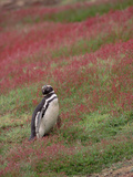Magellanic Penguin (Spheniscus Magellanicus) Standing Among Flowers, West Falkland Islands Photographic Print by Gerry Ellis