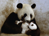Giant Panda (Ailuropoda Melanoleuca) Caring for Cub, Wolong Nature Reserve, China Photographic Print by Katherine Feng