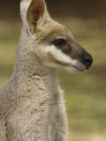 Whiptail Wallaby (Macropus Parryi), Australia Photographic Print by Pete Oxford