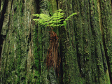 Epiphytic Fern Growing on Redwood, Temperate Rainforest, Pacific Coast, North America Photographic Print by Gerry Ellis