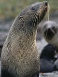Antarctic Fur Seal (Arctocephalus Gazella), South Georgia Island Photographic Print by Gerry Ellis