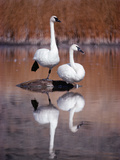 Trumpeter Swan (Cygnus Buccinator) Pair with Reflections in Lake, Yellowstone, Wyoming Photographic Print by Michael S. Quinton