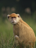 Patas Monkey (Erythrocebus Patas) Female, Woodland Park Zoo, Seattle, Washington Photographic Print by Gerry Ellis