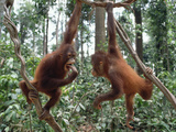 Young Orangutans (Pongo Pygmaeus) Pair Playing in Trees, Borneo Photographic Print by Gerry Ellis