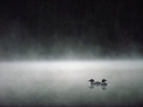 Common Loon (Gavia Immer) Mated Couple on a Misty Lake, Wyoming Photographic Print by Michael S. Quinton