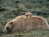 Alaskan Brown Bear or Grizzly Bear (Ursus Arctos) Mother and Cub Resting, Denali, Alaska Photographic Print by Michael S. Quinton