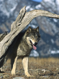 Timber Wolf (Canis Lupus) in Winter Photographic Print by Konrad Wothe