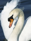 Mute Swan (Cygnus Olor) Close-Up, Europe Photographic Print by Konrad Wothe