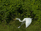 A Great Egret, Ardea Alba, Flies over the Yanayacu River Photographic Print by Gordon Wiltsie