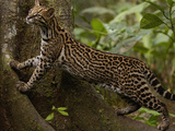 Ocelot (Felis Pardalis) Climbing on Buttress Root, Amazon Rainforest, Ecuador Photographic Print by Pete Oxford