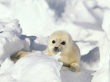 Harp Seal (Phoca Groenlandica) Pup, Gulf of St Lawrence, Canada Photographic Print by Gerry Ellis