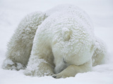 Polar Bear (Ursus Maritimus) Sleeping, Hudson Bay, Canada Papier Photo par Konrad Wothe
