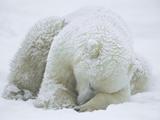 Polar Bear (Ursus Maritimus) Sleeping, Hudson Bay, Canada Fotoprint van Konrad Wothe