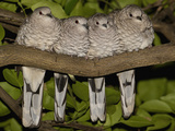 Scaled Dove (Columbina Squammata) Four Huddled Together on Branch, Brazil Photographic Print by Pete Oxford