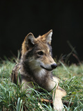 Timber Wolf (Canis Lupus) of Four Month Old Pup, Oregon Zoo, Portland, Oregon Photographic Print by Gerry Ellis