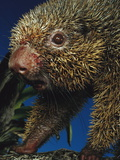 Thin-Spined Porcupine (Chaetomys Subspinosus), Espirito Santo, Brazil Photographic Print by Mark Moffett