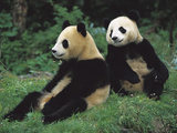 Giant Panda (Ailuropoda Melanoleuca) Endangered, Two Cubs Sitting Photographic Print by Cyril Ruoso