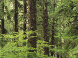 Temperate Rainforest, Queets River Valley, Olympic National Park, Washington Photographic Print by Gerry Ellis