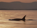 Orca or Killer Whale (Orcinus Orca) Surfacing, North America Photographic Print by Gerry Ellis