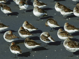 Western Sandpiper (Calidris Mauri) Flock Resting on Mudflats, Copper River Delta, Alaska Photographic Print by Michael S. Quinton