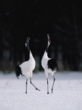 Red-Crowned Crane (Grus Japonensis) Couple in Courtship Display, Hokkaido, Japan Photographic Print by Konrad Wothe