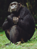 Chimpanzee (Pan Troglodytes), Gombe Stream National Park, Tanzania Photographic Print by Gerry Ellis