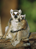 Ring-Tailed Lemur (Lemur Catta) Mother with Young on Back, Vulnerable, Madagascar Fotografiskt tryck av Cyril Ruoso