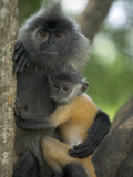 Silvered Leaf Monkey (Trachypithecus Cristatus) Female Holding Young Fotografiskt tryck av Cyril Ruoso