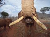 African Elephant (Loxodonta Africana) Orphan, Tsavo East National Park, Kenya Photographic Print by Gerry Ellis
