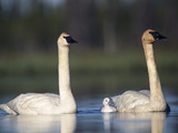 Trumpeter Swan (Cygnus Buccinator) Mother and Father with Single Chick Photographic Print by Michael S. Quinton