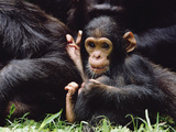 Chimpanzee (Pan Troglodytes) Mom and Baby, Gombe Stream National Park, Tanzania Photographic Print by Gerry Ellis
