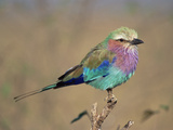 Lilac-Breasted Roller (Coracius Caudata) Perching, Masai Mara Game Reserve, Kenya Photographic Print by Gerry Ellis