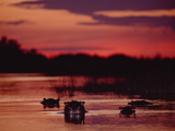 Hippopotamus (Hippopotamus Amphibius) Group in River at Sunset, Botswana Photographic Print by Gerry Ellis